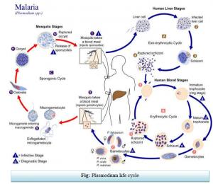 Malaria Symptoms and Treatment